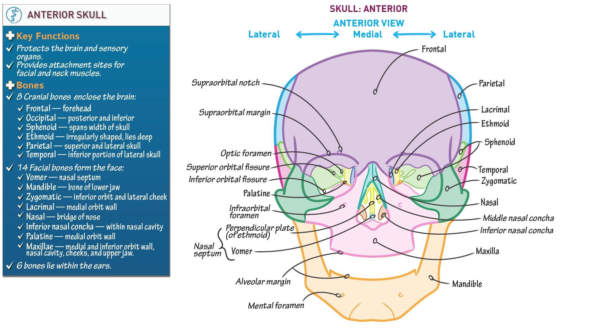 Anterior Skull Base Anatomy Images - human body anatomy