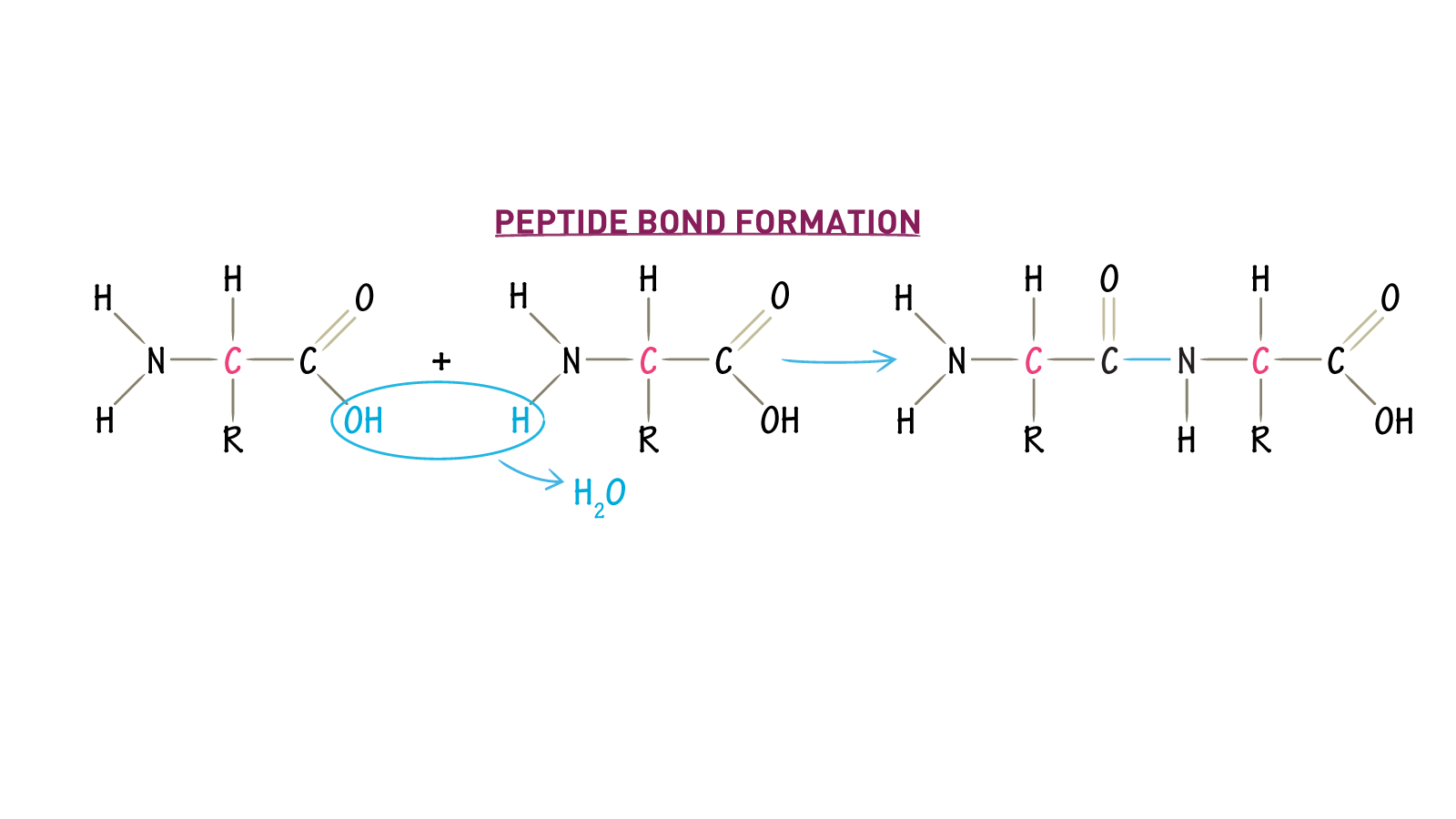 What molecule is lost when peptide bonds are formed draw it to what molecule is lost when peptide bonds are formed ccuart Images