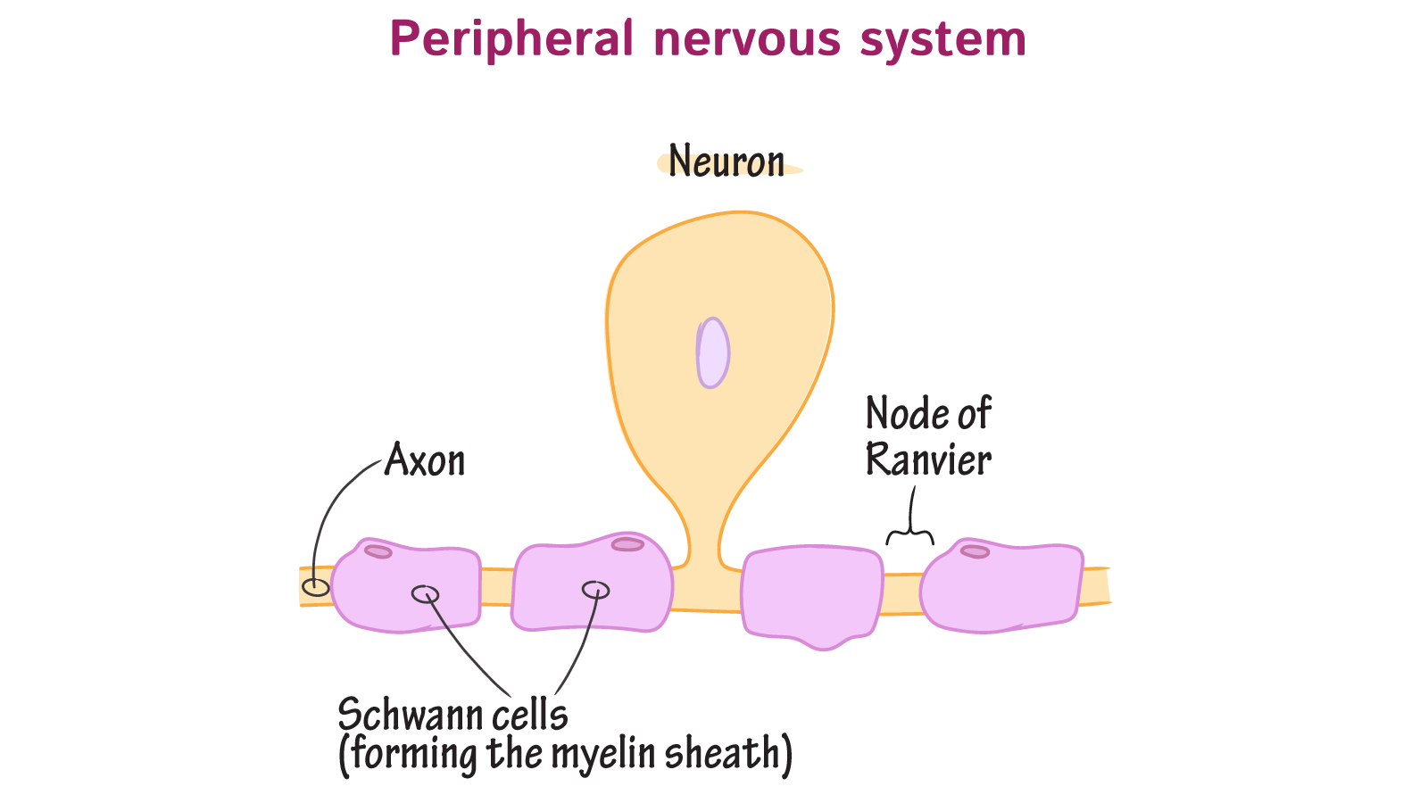 What type of glial cells form the myelin sheath in the peripheral ...