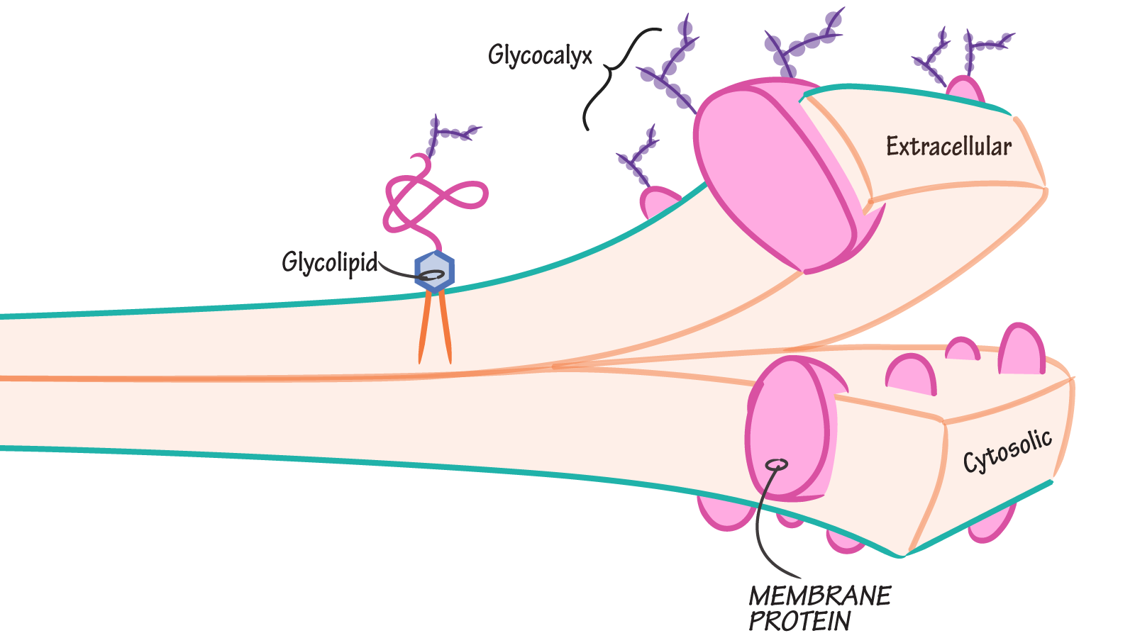 What is the glycocalyx of a cell and where is it located draw some peripheral proteins bind oligosaccharide side chains that extend into the extracellular space these side chains along with glycolipids pooptronica