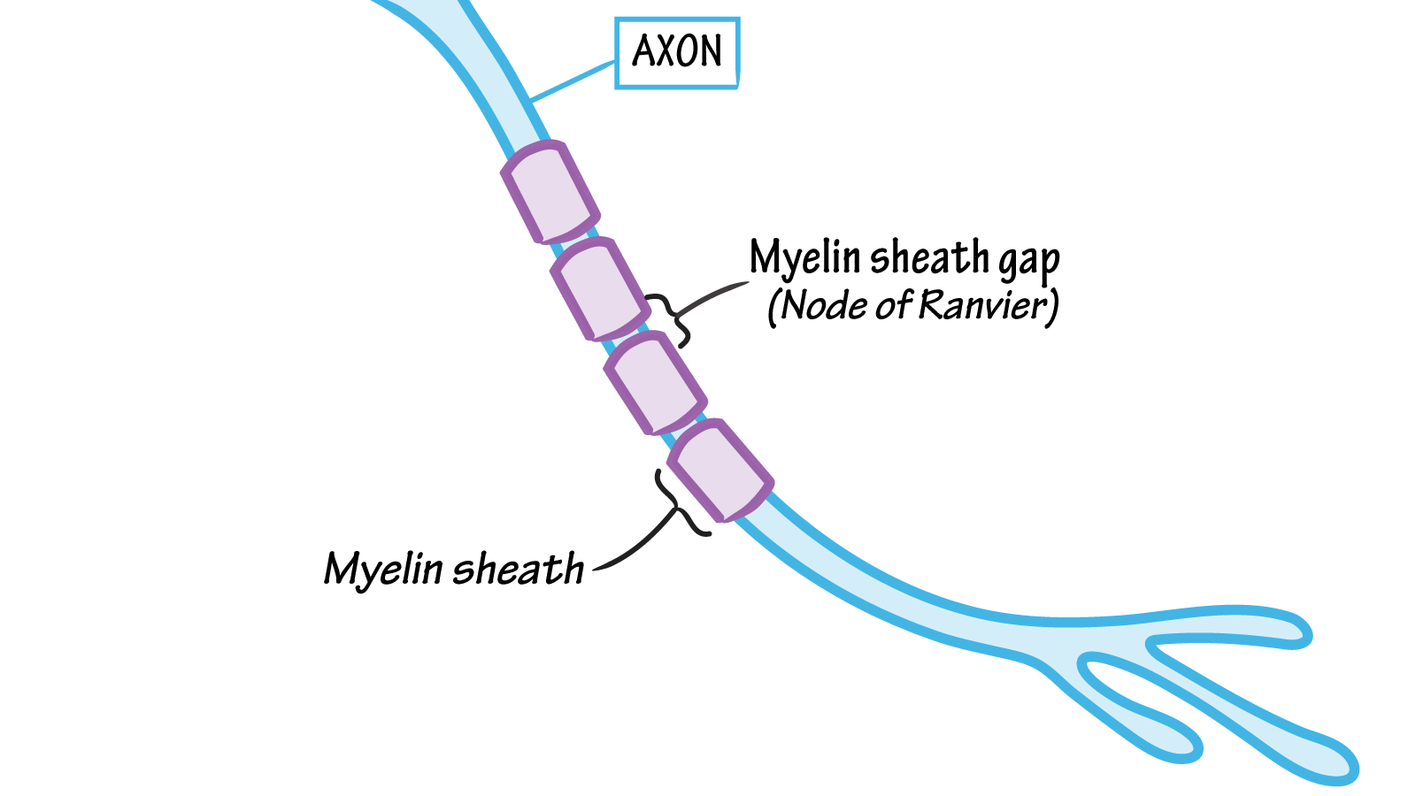 On a myelinated neuronal axon what do you call the spaces of bare between sections of myelin there are areas of bare axonal membrane that play a very important role in the conduction of action potentials ccuart Gallery