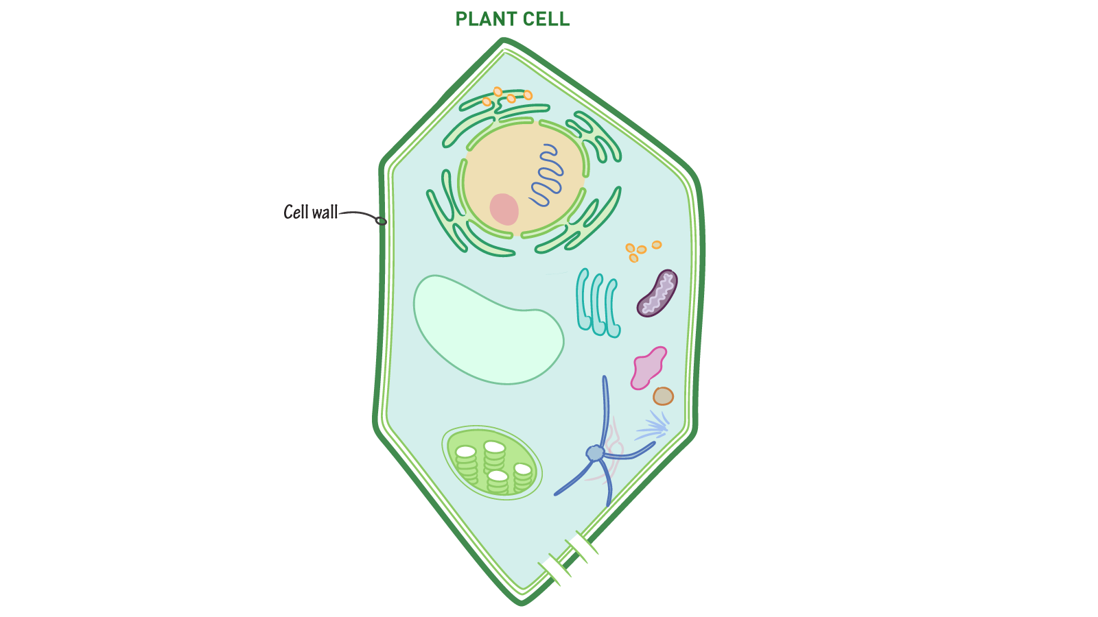 Plant cell and animal cell pest control worker cover letter what structure protects plant cells from damage and helps them plant vs animal cells pop quiz what structure found in plant cells but not animal cells helps pooptronica Choice Image