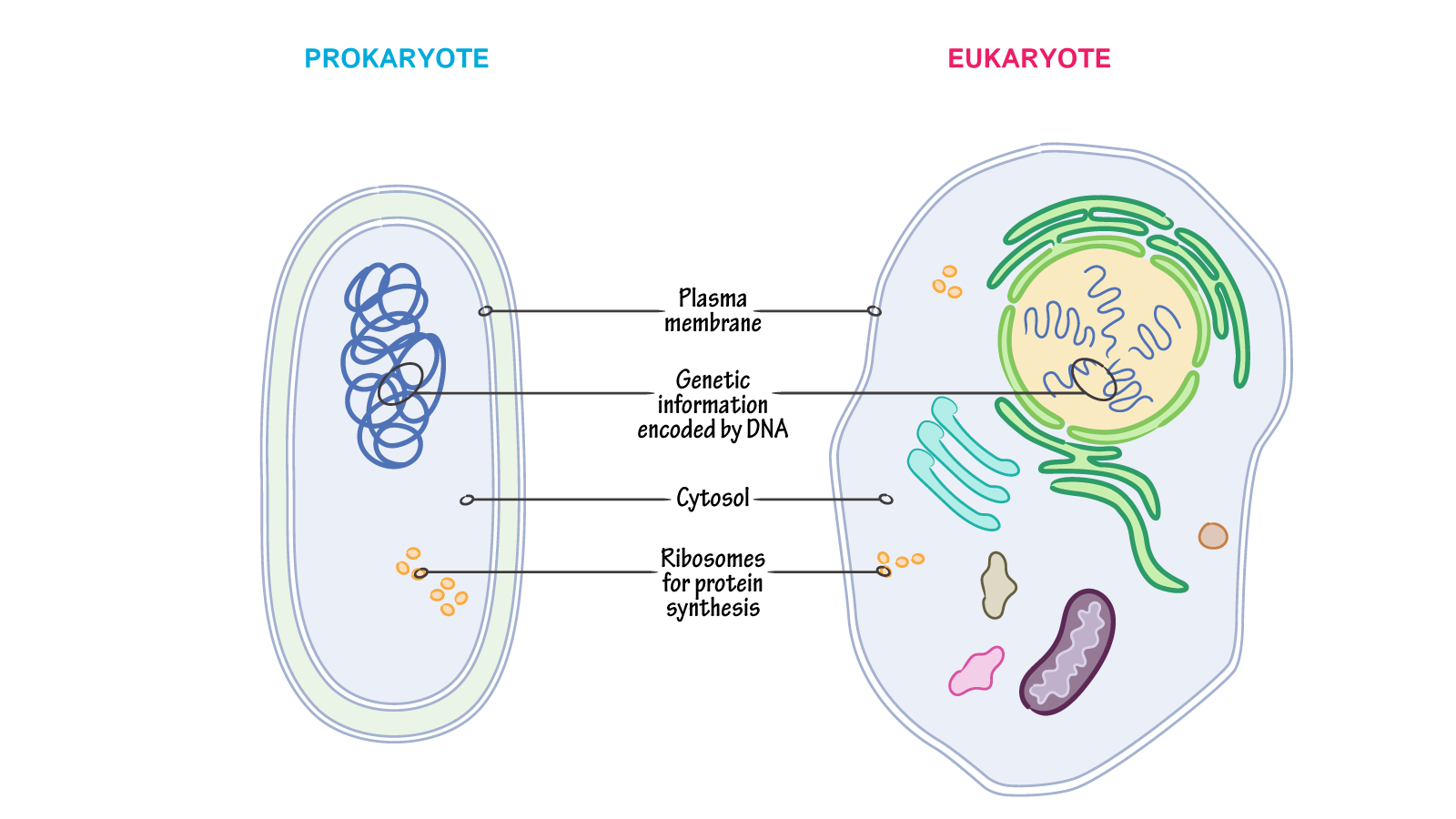 What cellular structures are shared between prokaryotes and they both encode genetic information in dna and they use ribosomes to synthesize their proteins ccuart Choice Image