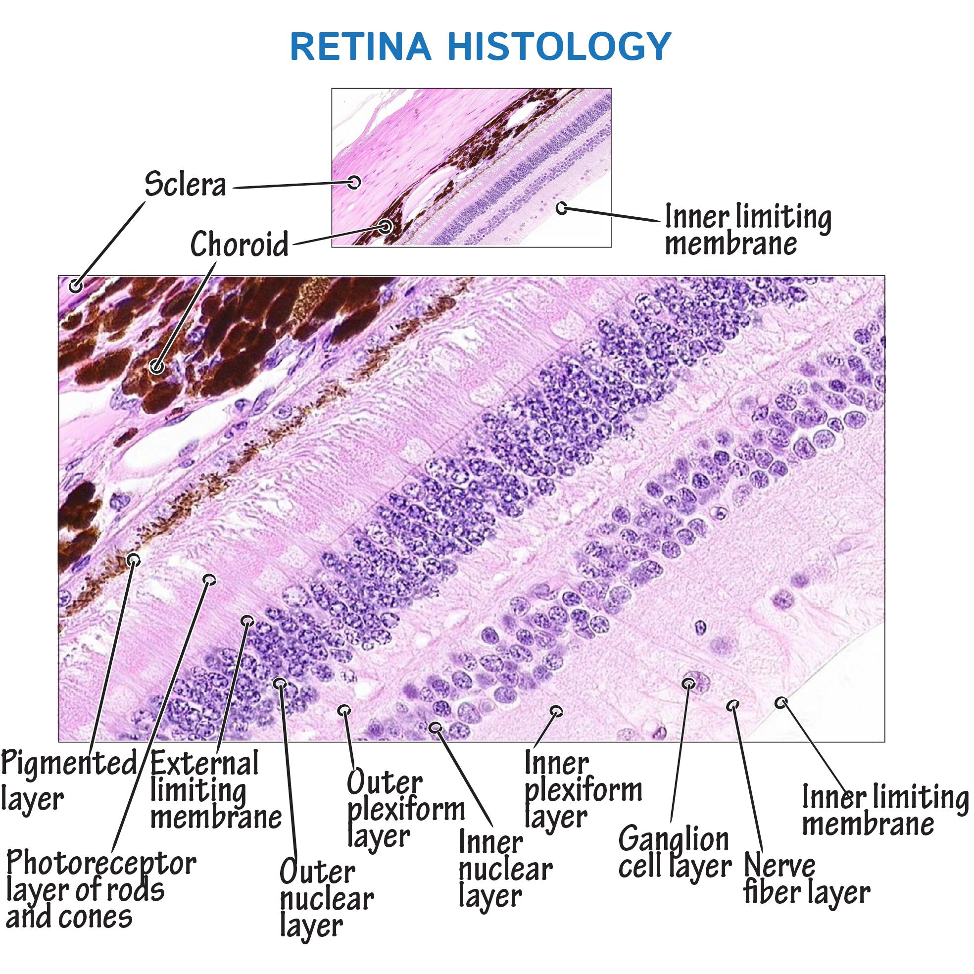 histology glossary retina histology draw it to know it