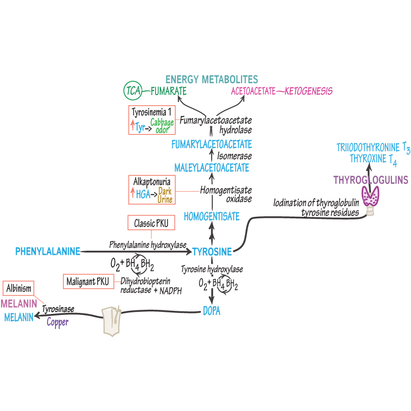 Biochemistry Glossary Phenylalanine Tyrosine Metabolism