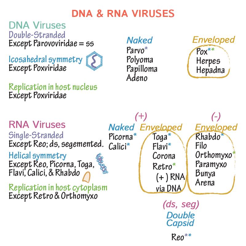 papilloma vírus DNS vagy rna