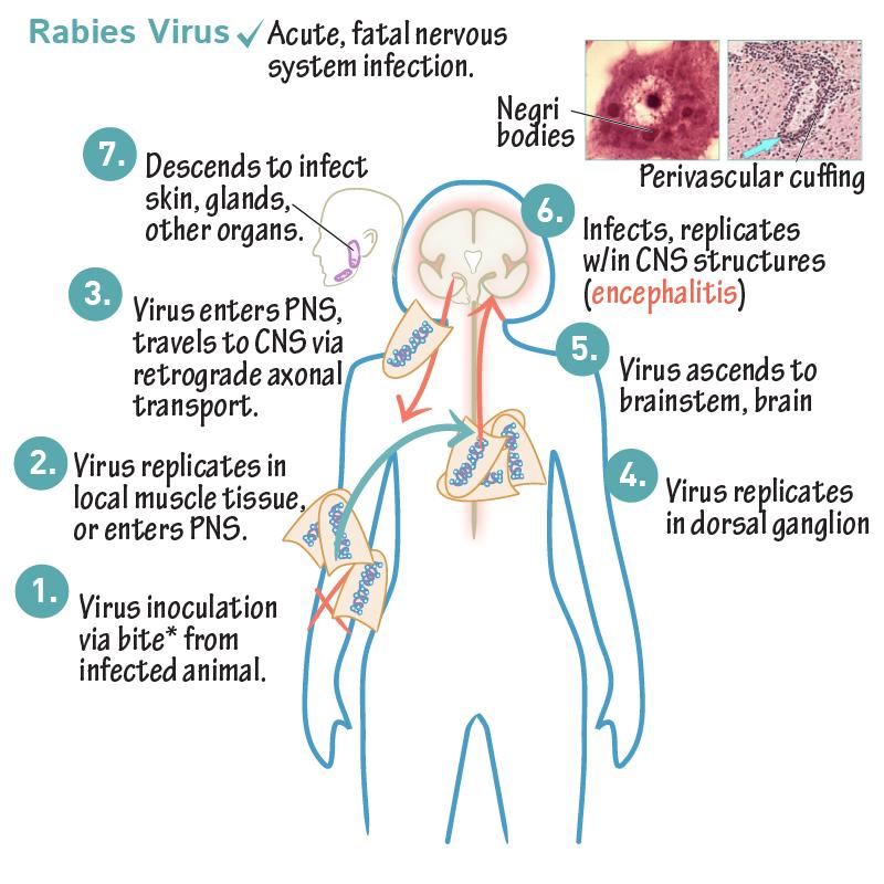 rabies virus neural network