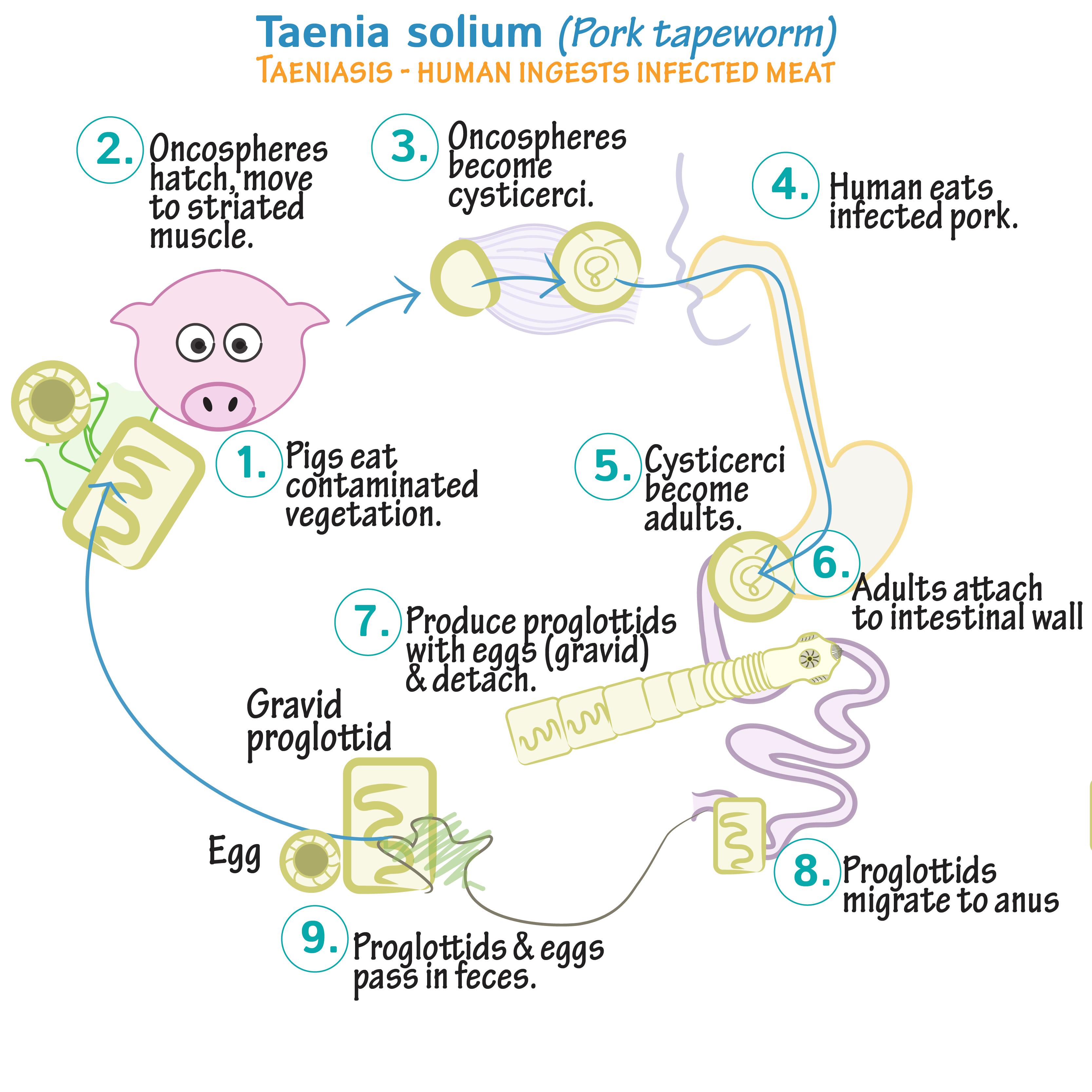 teniasis patogenezis)