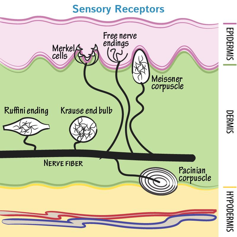 Neuroanatomy Glossary Sensory Receptors Nerve Endings Draw It To Know It