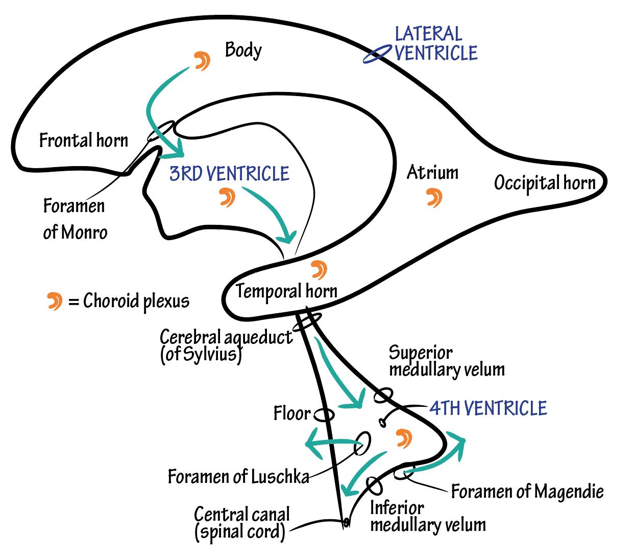 edema cerebral oms