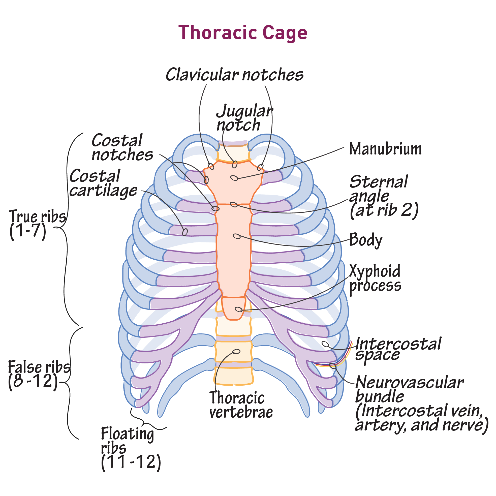 Thoracic Cage Gross Anatomy Flashcards Draw It To Know It