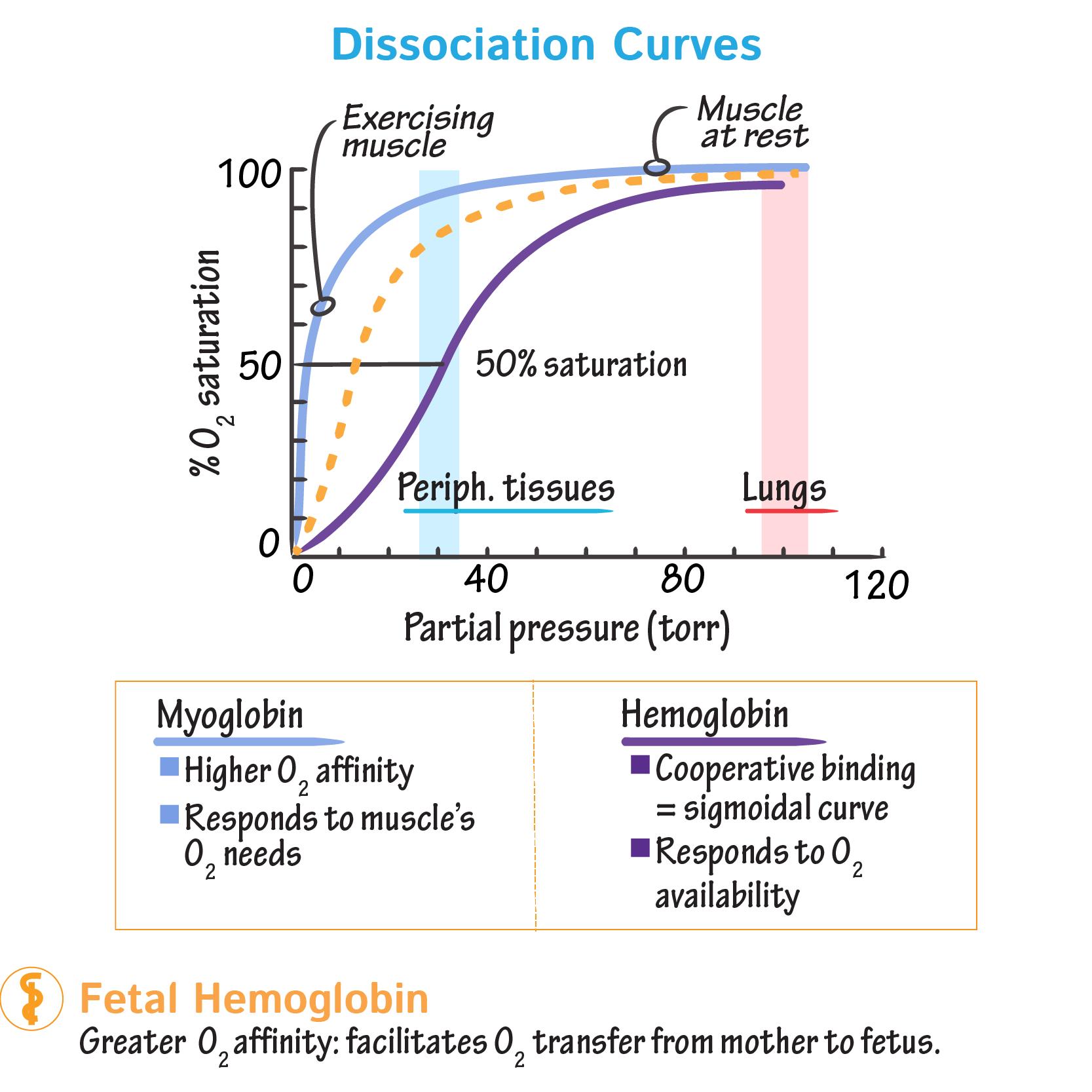 Biochemistry Glossary: Hemoglobin & Myoglobin: 4