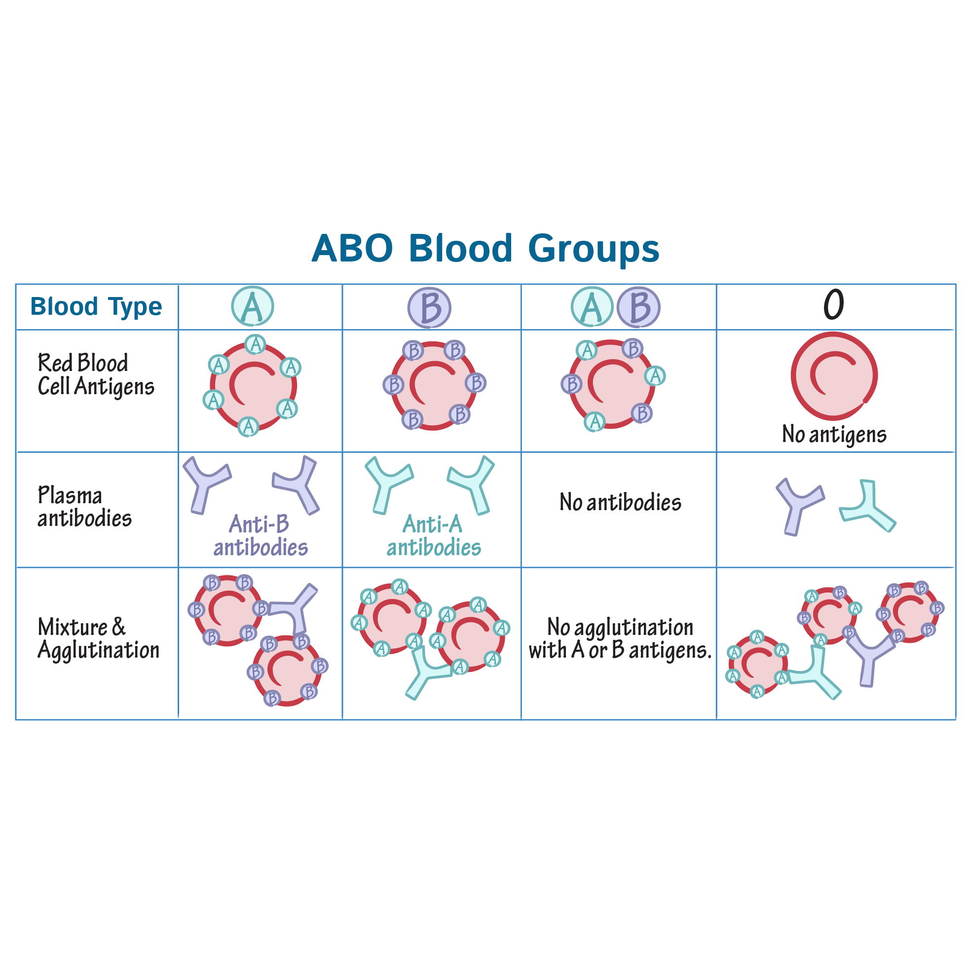 Physiology Glossary: Blood Groups | Draw It to Know It