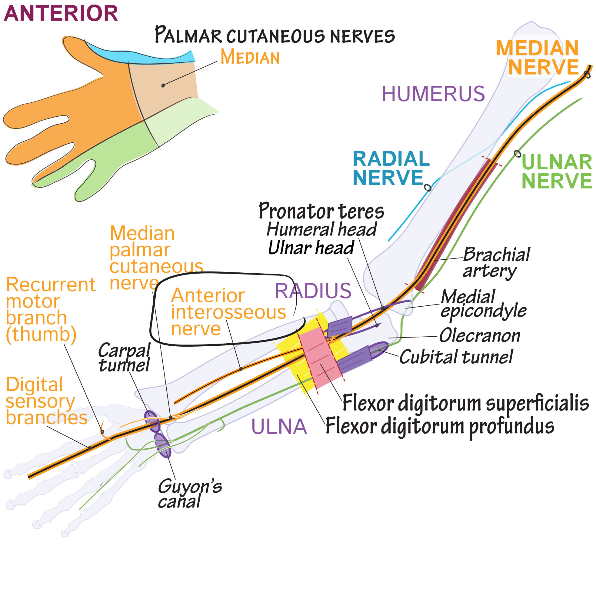 Anterior Interosseous Nerve Draw It To Know It