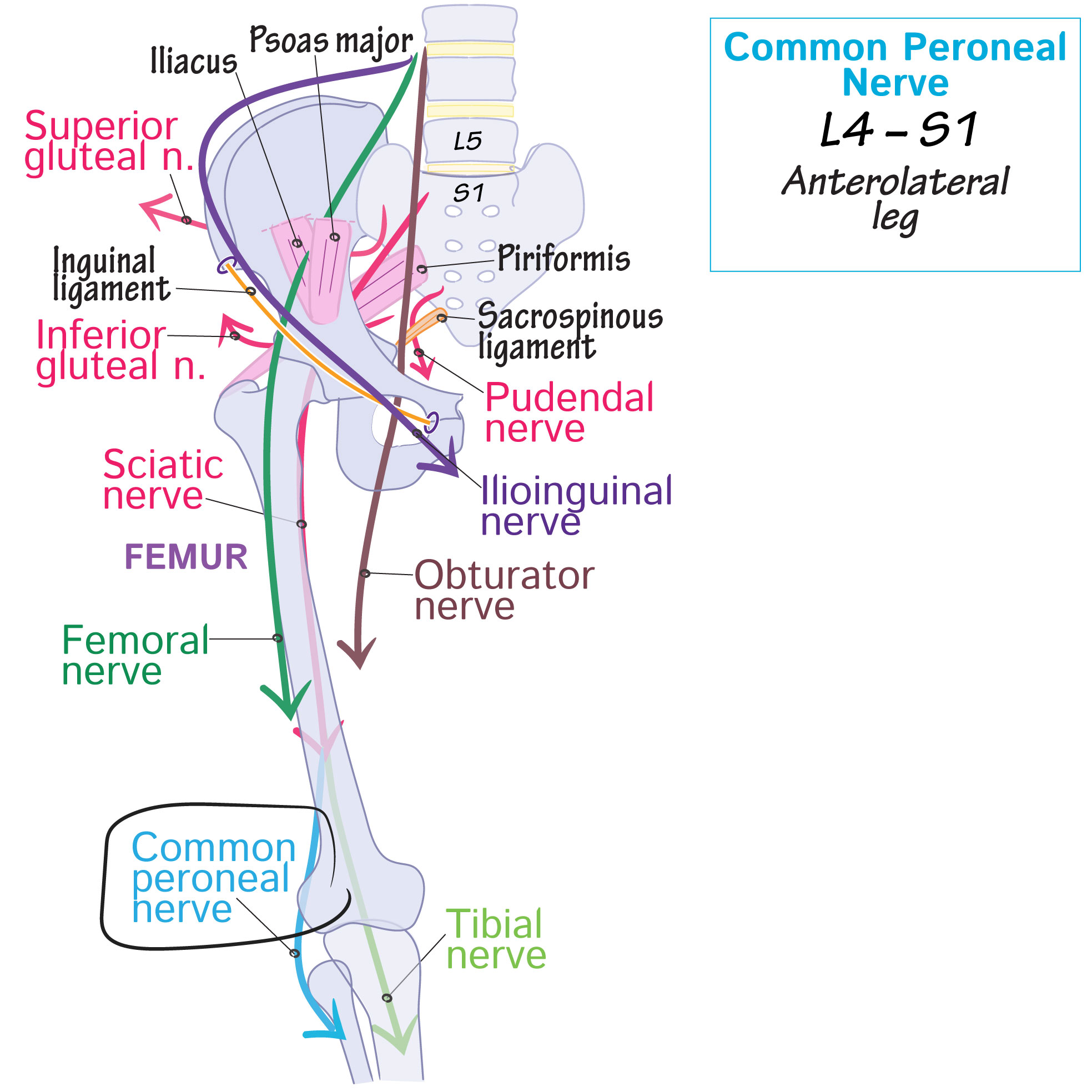 Common peroneal nerve | Draw It to Know It