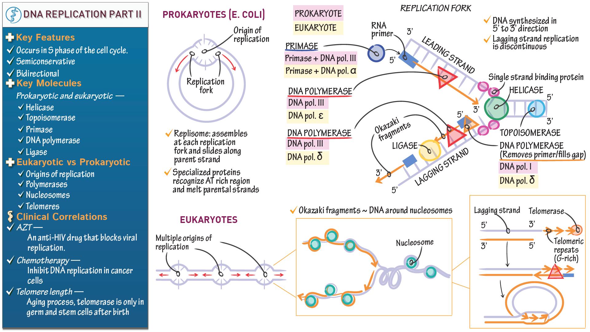 Biochemistry fundamentals dna replication part ii draw it to dna replication part ii pooptronica