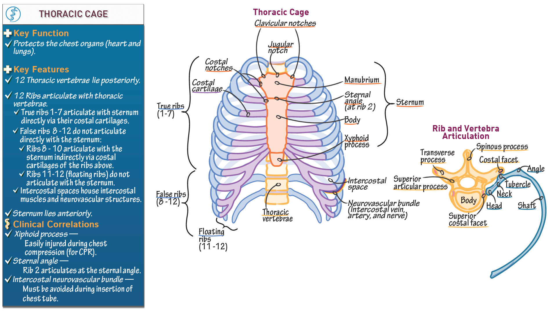 Anatomy & Physiology Fundamentals: Thoracic Cage | Draw It to Know It