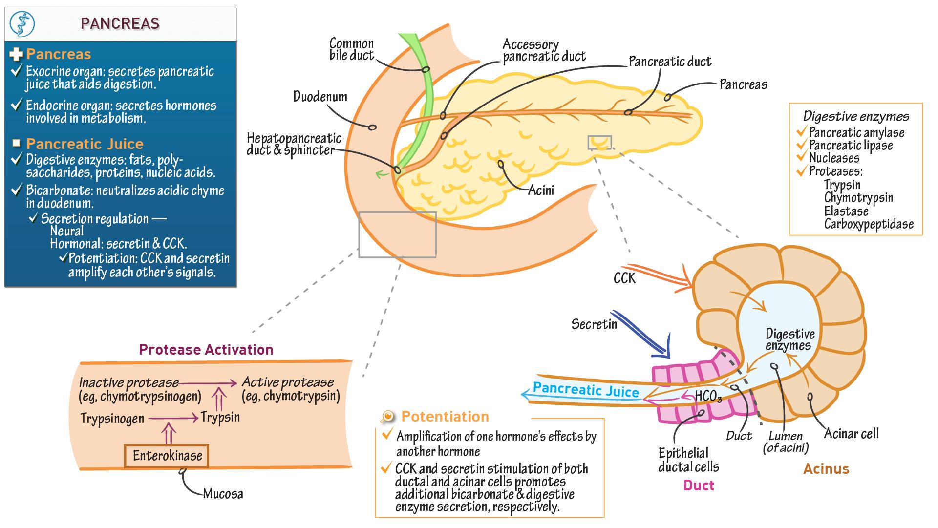 The Gastrointestinal System Exocrine Pancreas Draw It To Know It