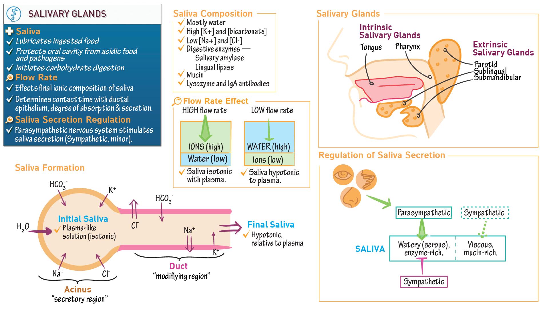 Anatomy & Physiology: Salivary Glands | Draw It to Know It
