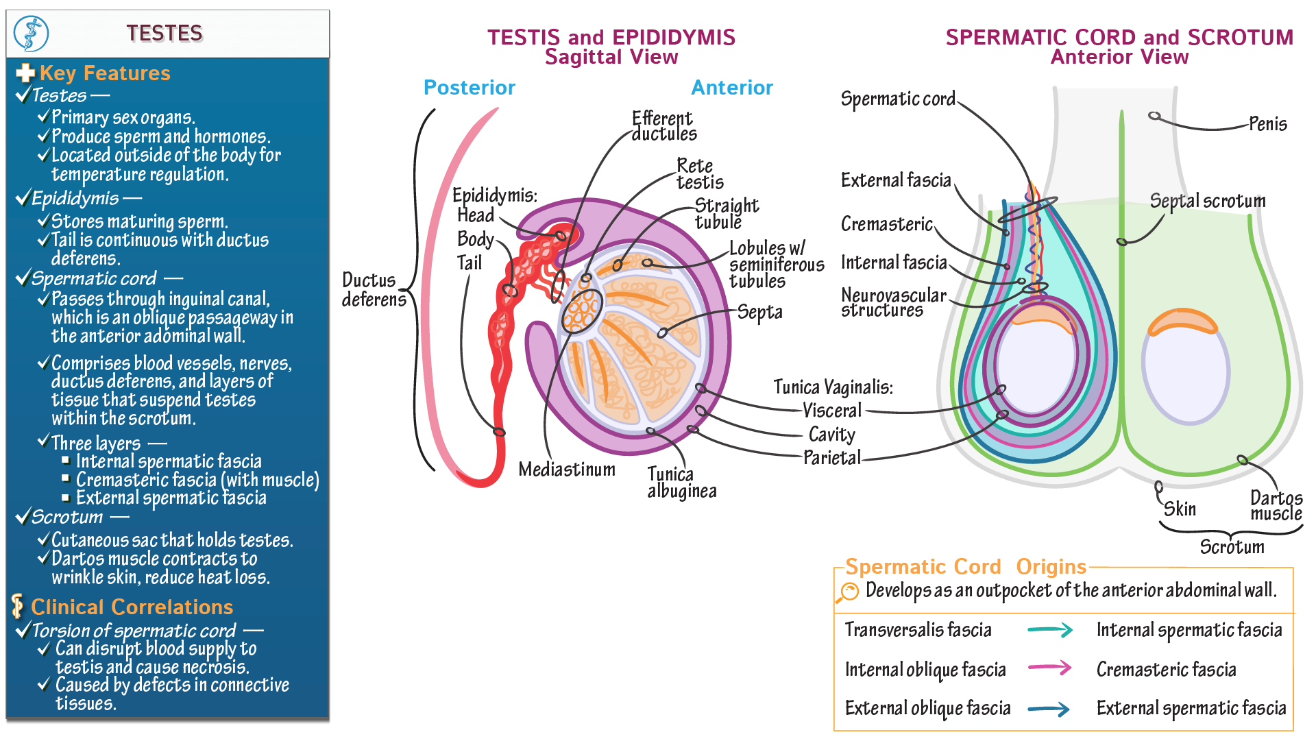 Gross Anatomy Of Testis Gallery - human body anatomy