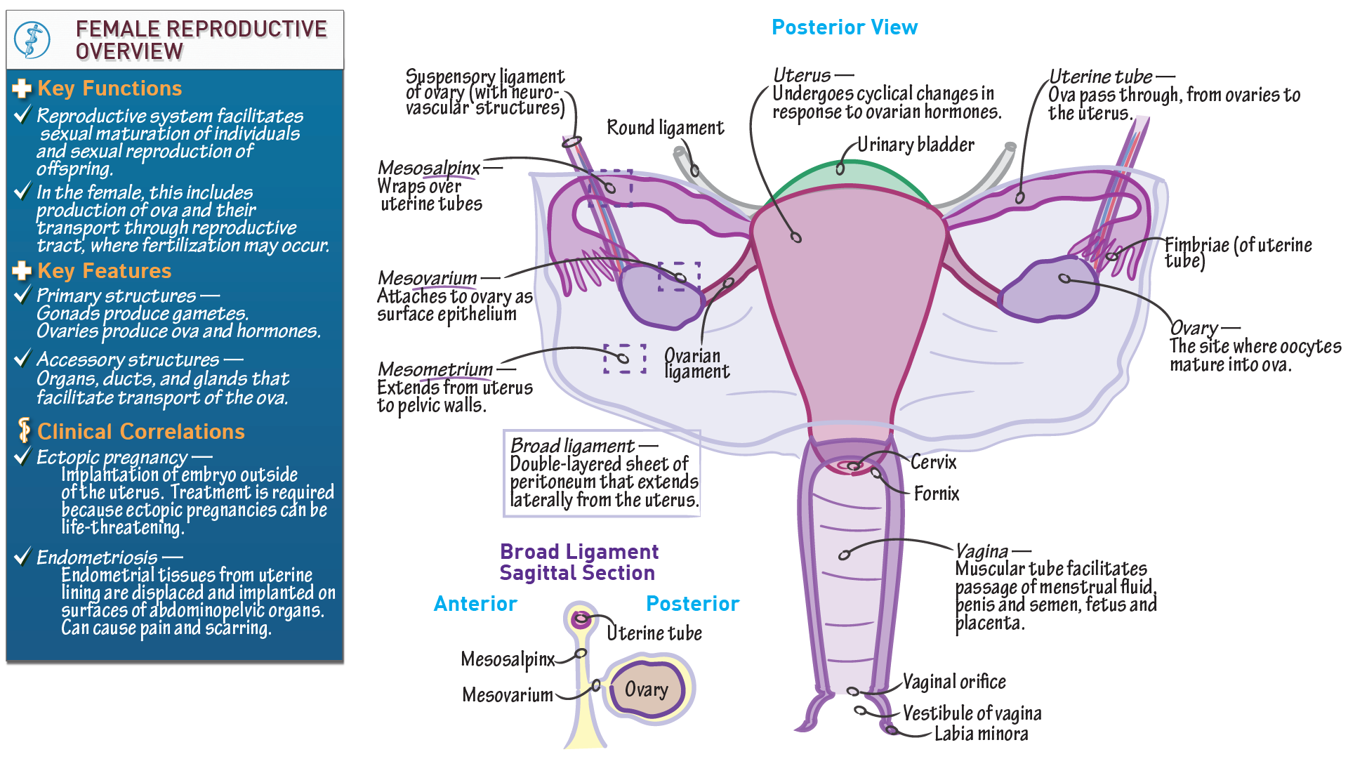 Ap biology overview of the female reproductive system draw it to ap biology overview of the female reproductive system draw it to know it ccuart Images