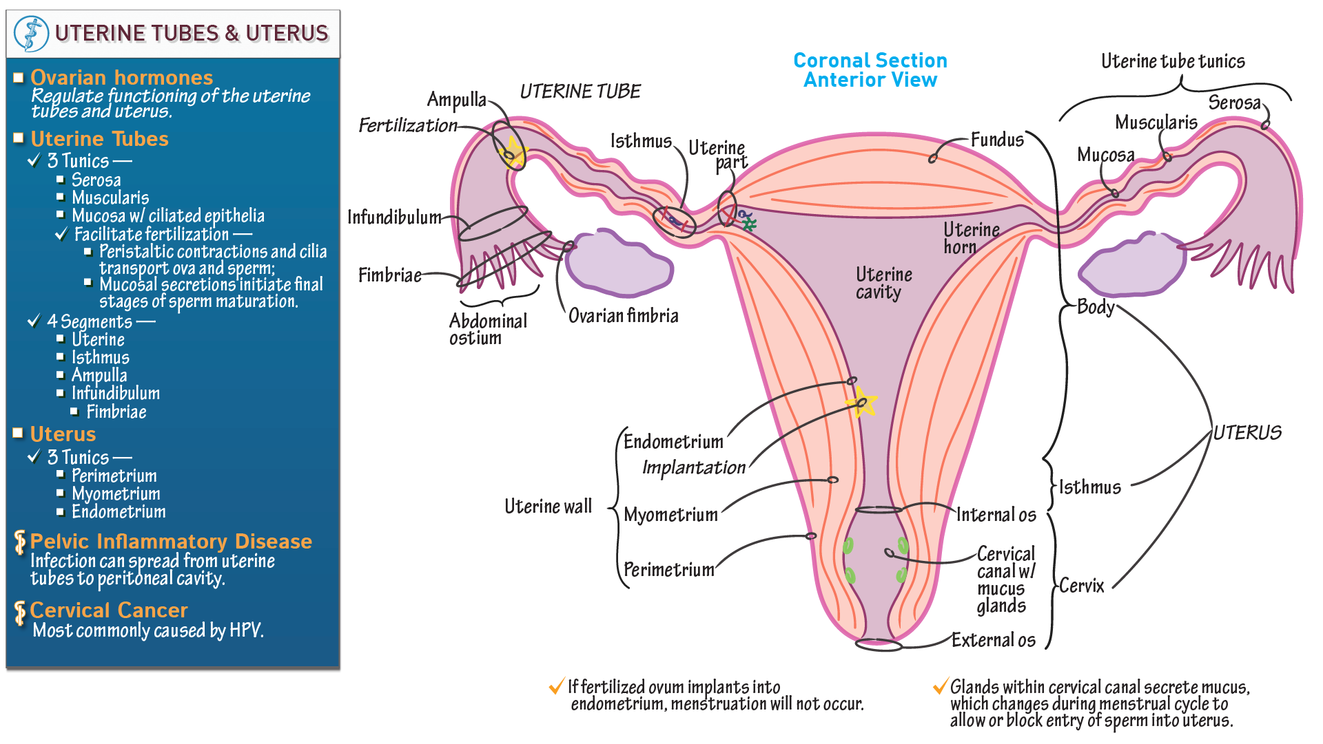 Gross Anatomy: Uterus and Uterine Tubes | Draw It to Know It