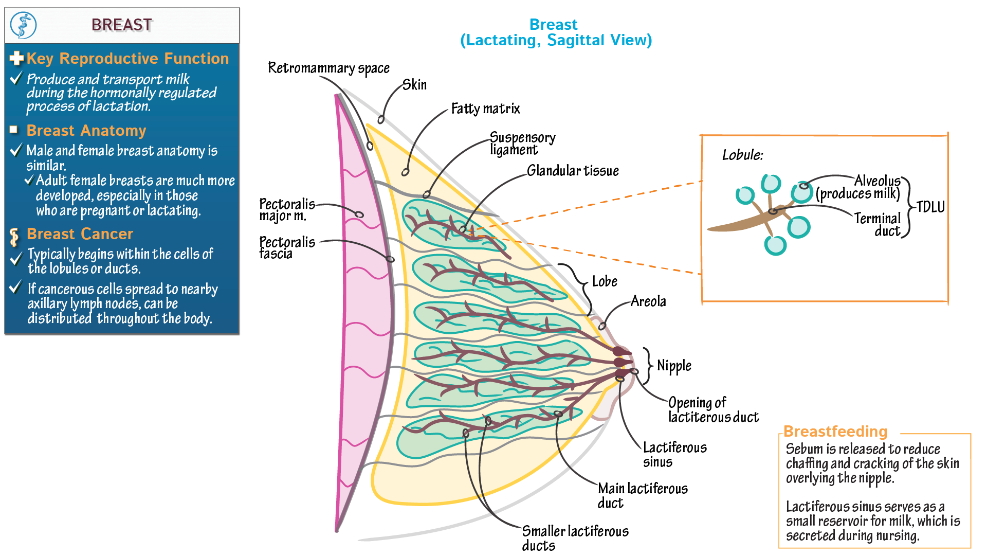Gross Anatomy: Breast | Draw It to Know It