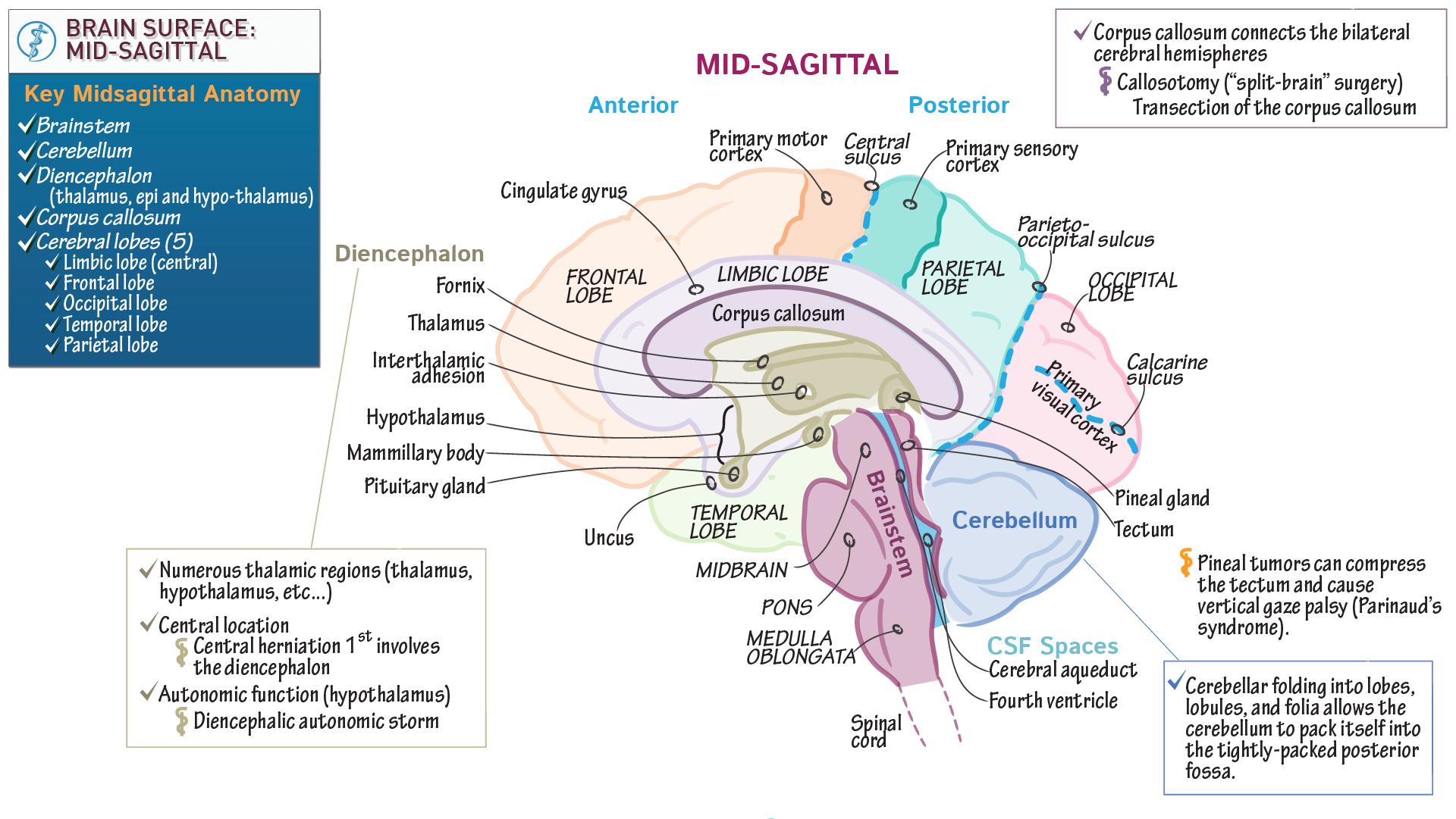 Anatomy & Physiology Fundamentals: Cerebrum: Midsagittal View | Draw ...
