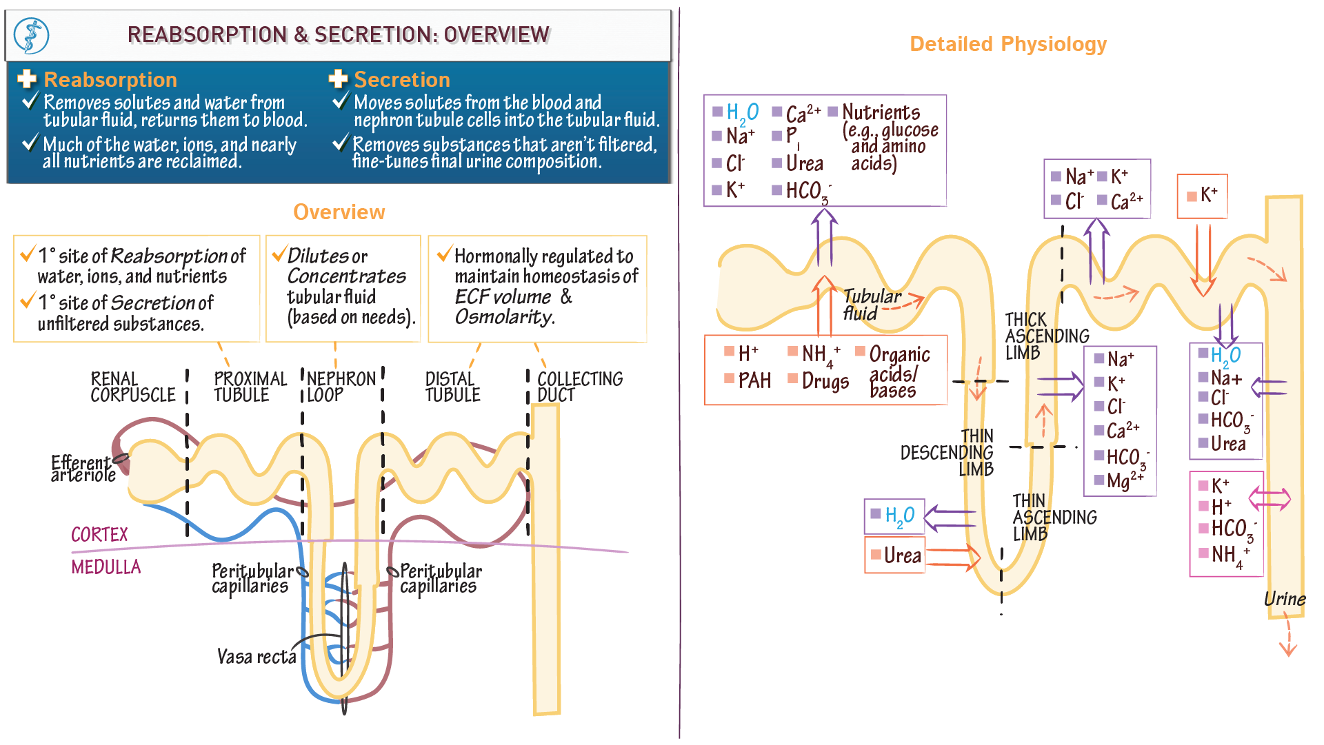 Anatomy physiology fundamentals overview of reabsorption and anatomy physiology fundamentals overview of reabsorption and secretion in the nephron draw it to know it ccuart Choice Image