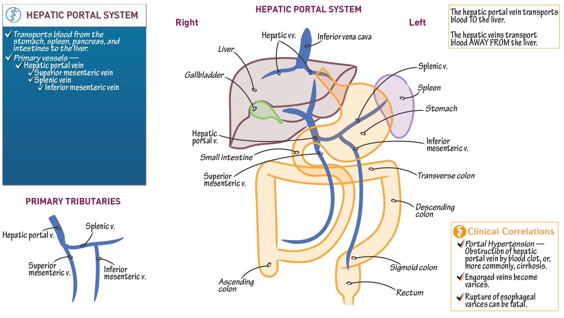 Anatomy Physiology Fundamentals Hepatic Portal System Draw It