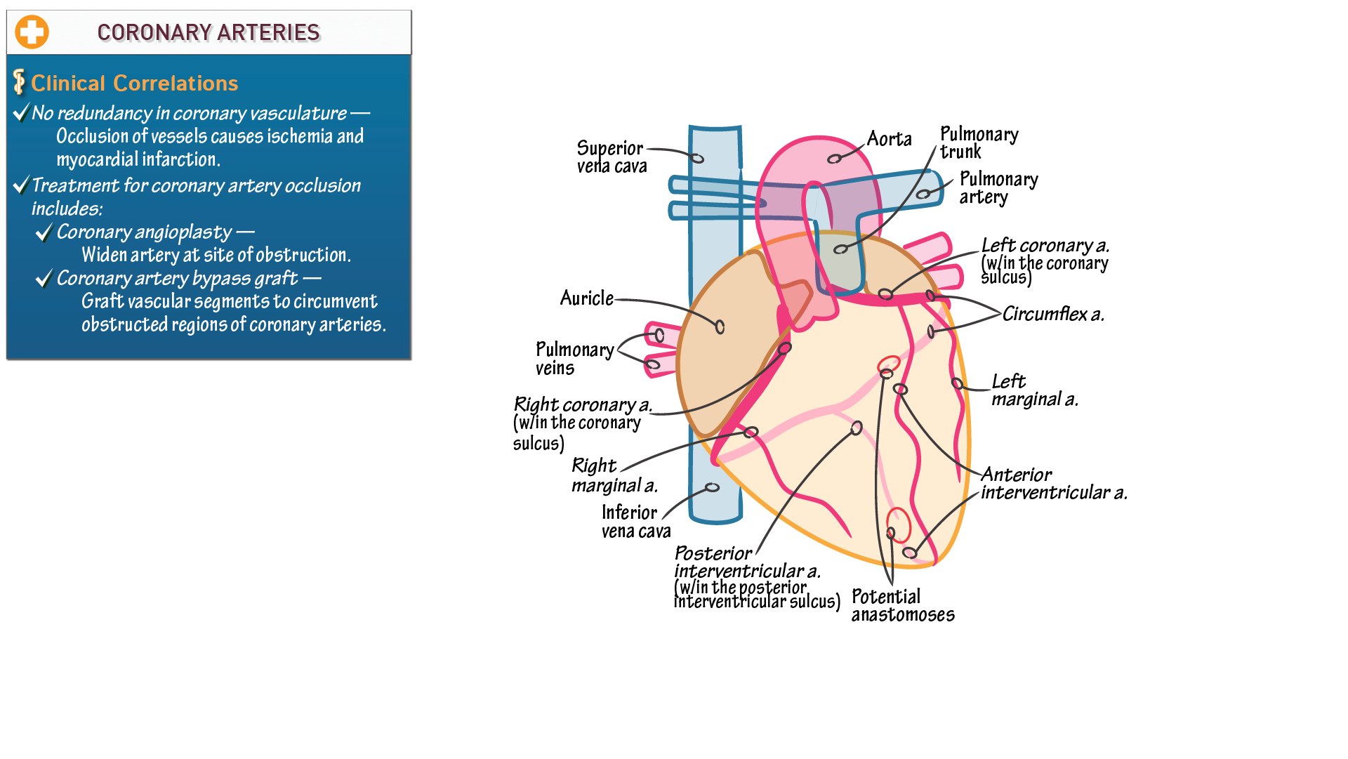 Anatomy Physiology Coronary Arteries Draw It To Know It
