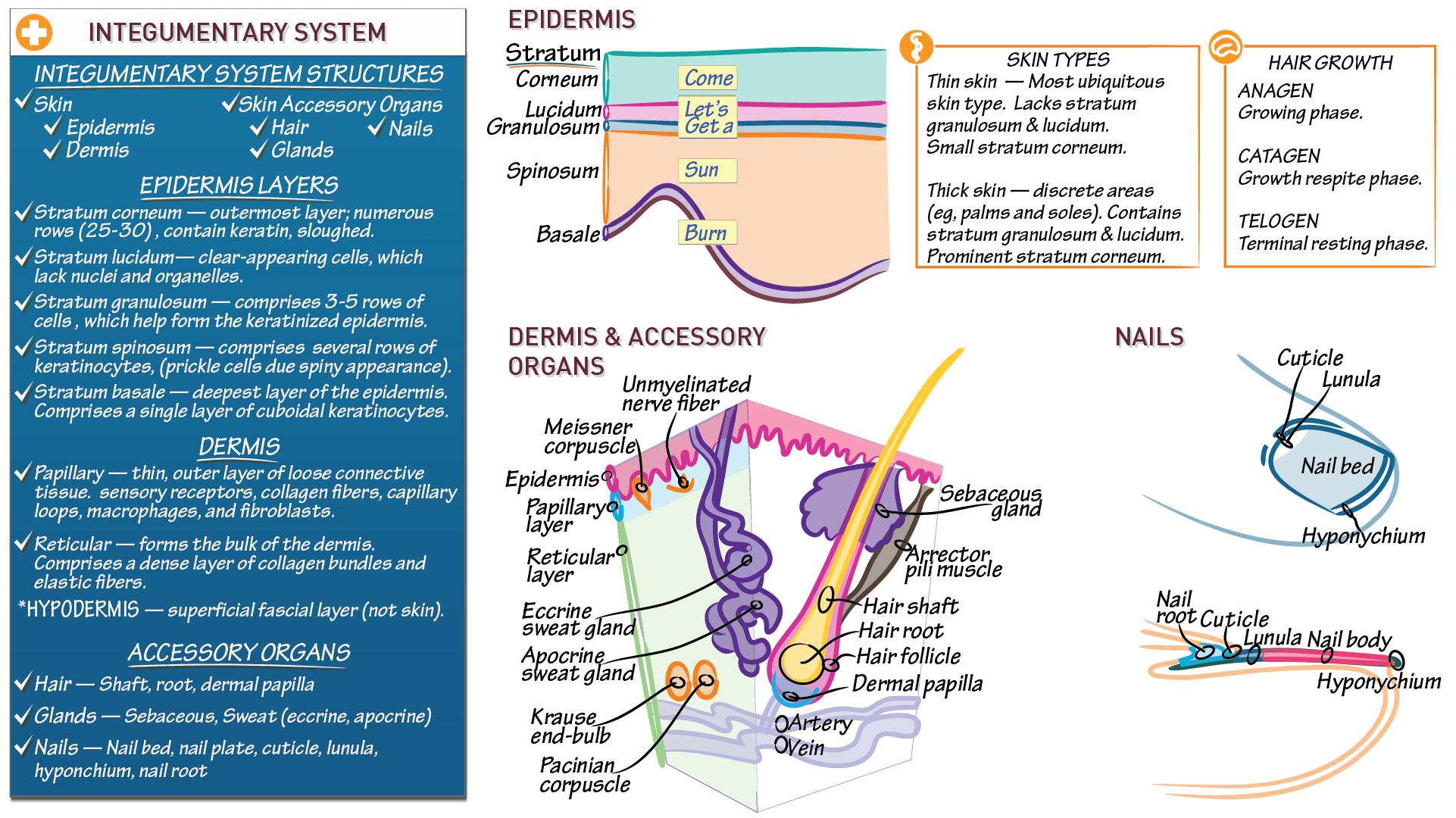 Anatomy & Physiology Fundamentals: Skin   Draw It to Know It