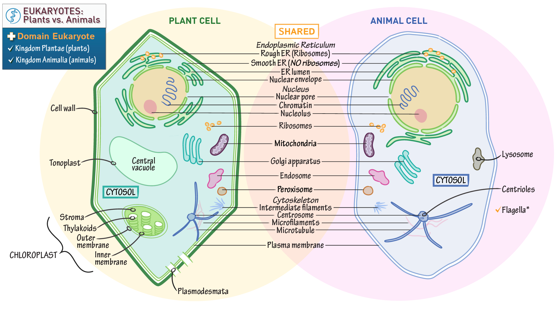Cell Biology Plant Vs Animal Cells Draw It To Know Diagram Of A Eukaryotic Note This Is The An