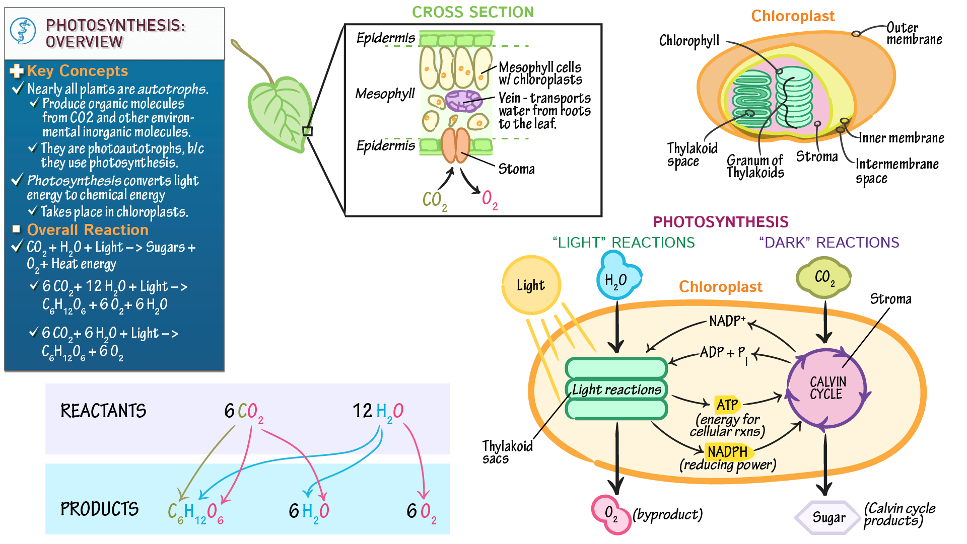 Cell biology photosynthesis overview draw it to know it ccuart Gallery