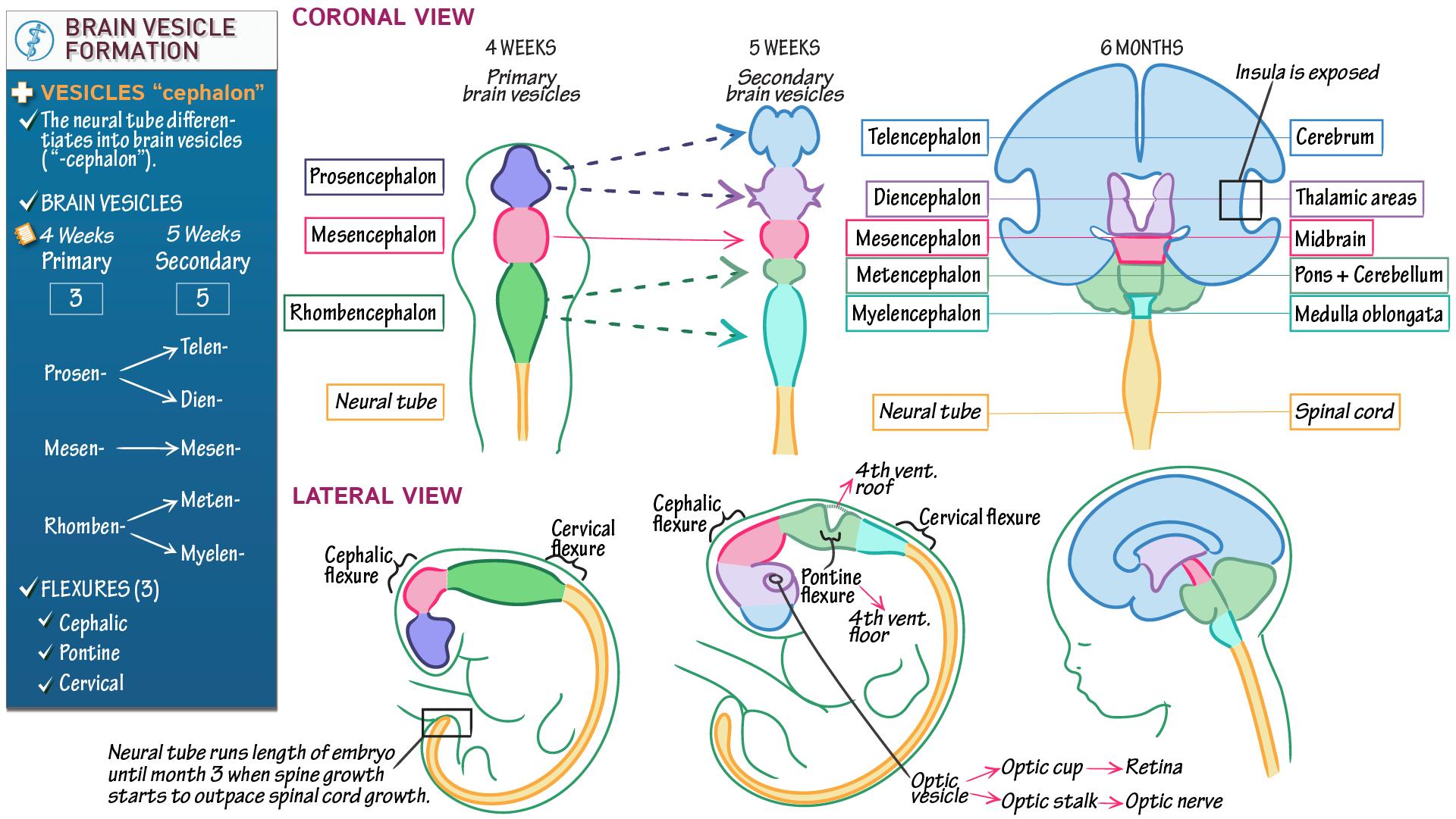 Neuroanatomy: Brain Vesicle Formation | Draw It to Know It