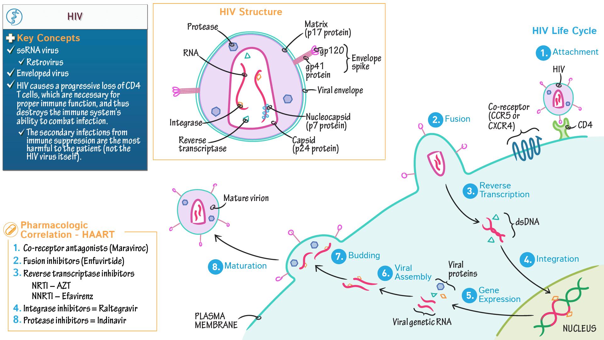 Anatomy & Physiology Fundamentals: HIV: Essentials | Draw It to Know It