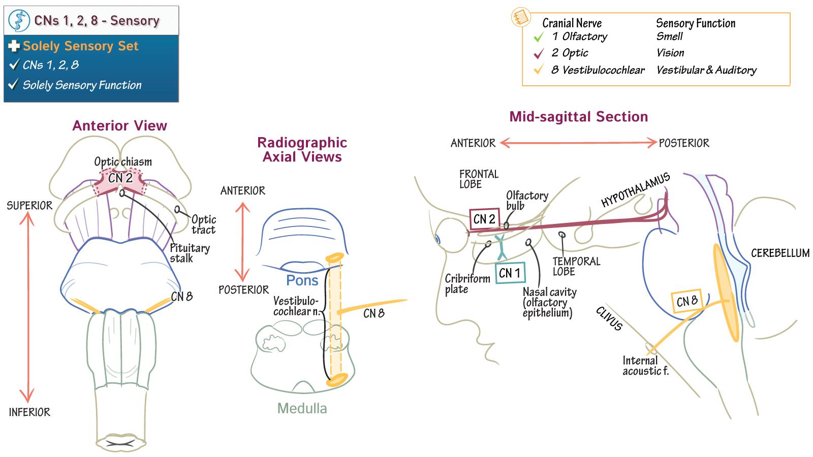 Neurosciences Abpn Neurology Boards Cns 1 2 8 Solely Sensory