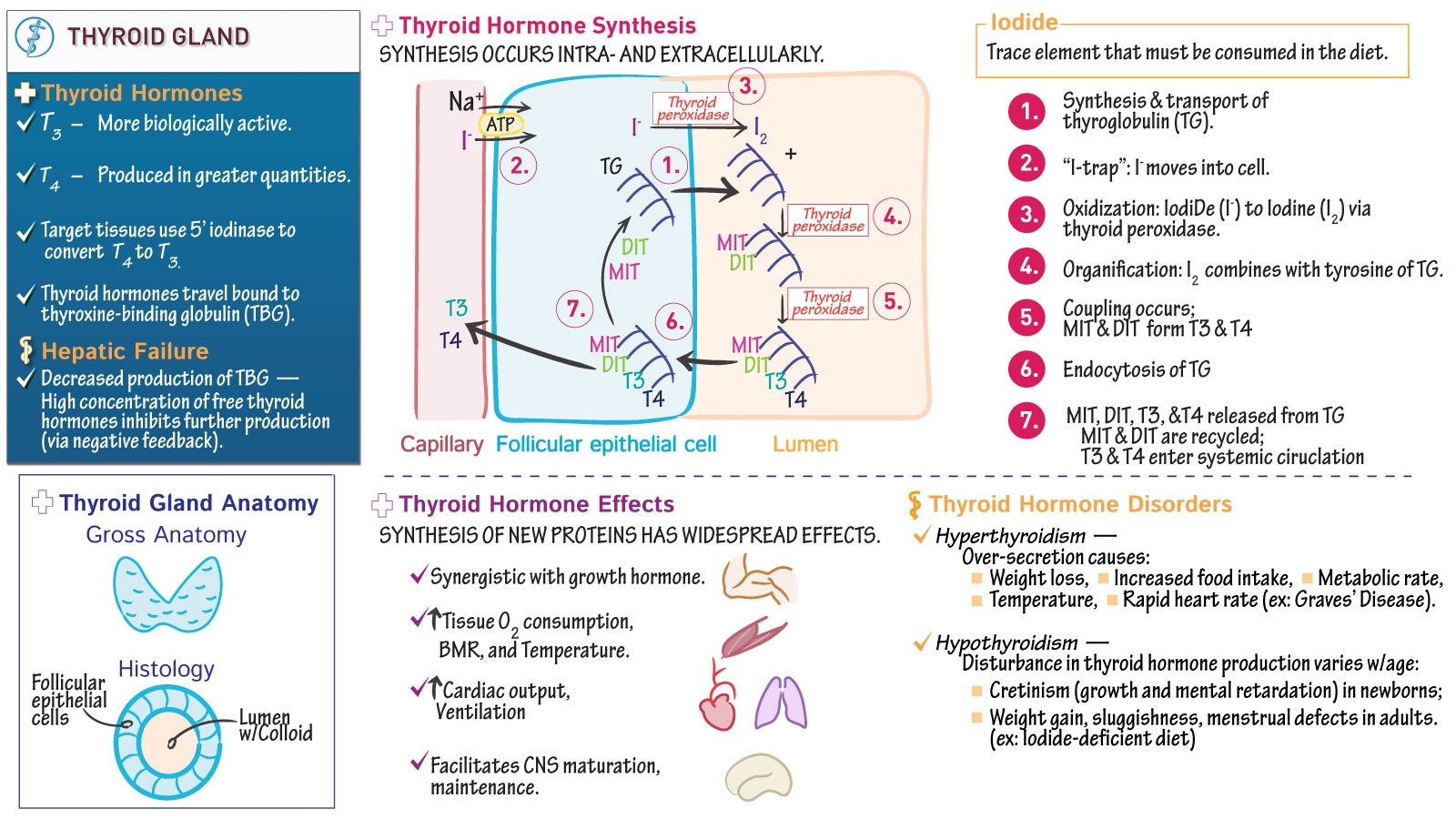 The Endocrine System Thyroid Gland Draw It To Know It