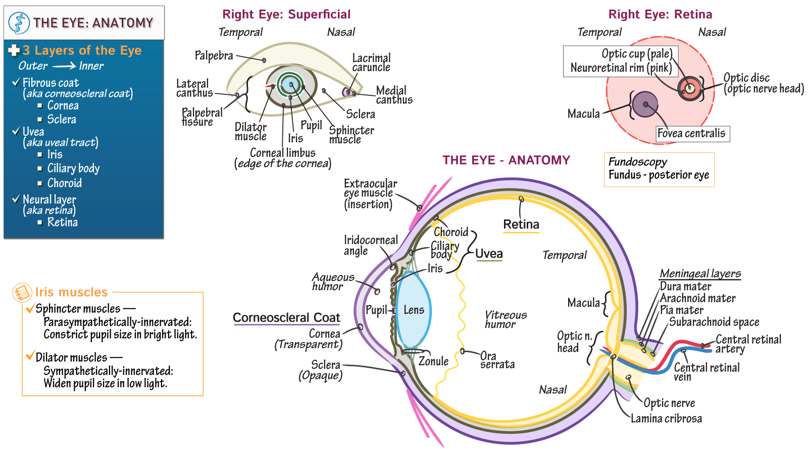 Neuroanatomy: Eye Anatomy | Draw It to Know It
