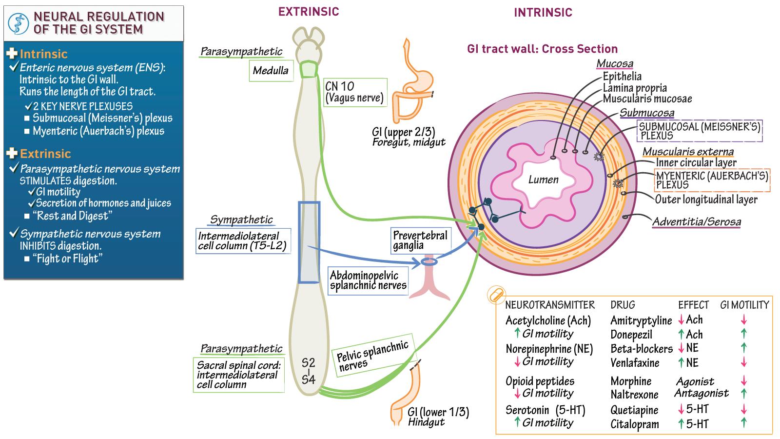 Neuroscience Fundamentals: Neural Control of GI Motility | Draw It ...