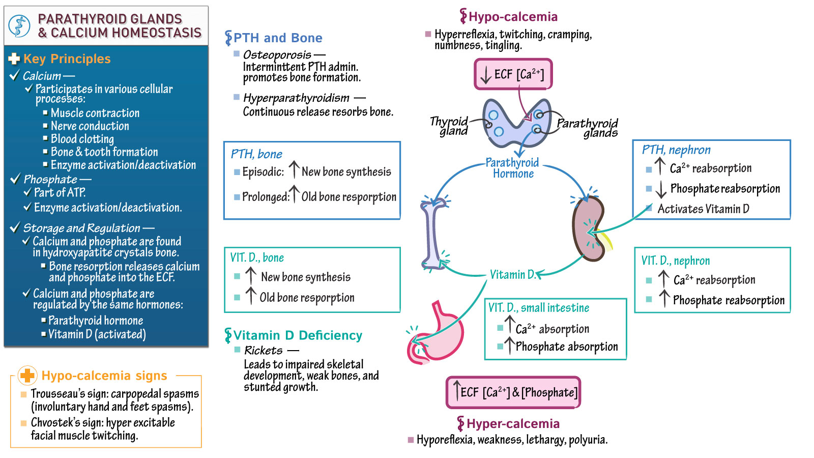 Physiology: Parathyroid Glands   Draw It to Know It