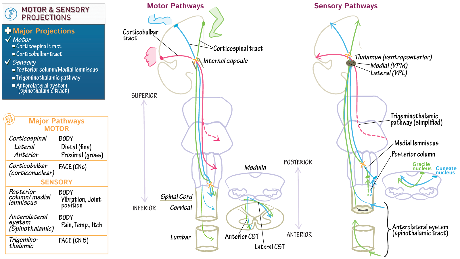 Neuroscience Fundamentals: Major Motor & Sensory Projections | Draw ...