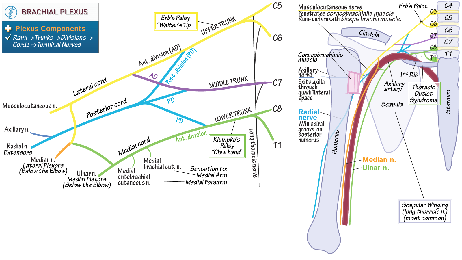 Anatomy & Physiology Fundamentals: Brachial Plexus - Essentials ...
