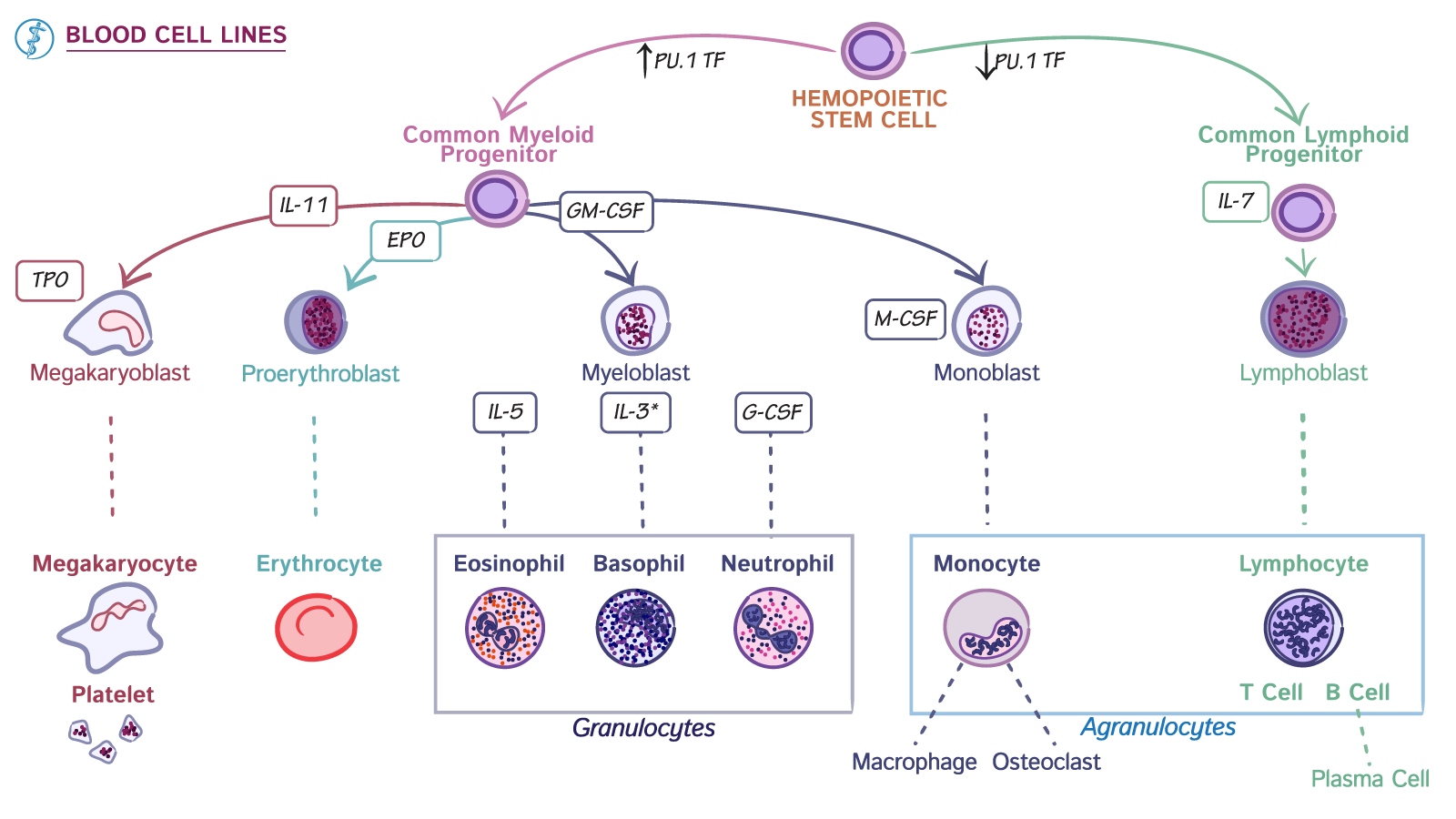 The hematologicimmunologic system blood cell lines draw it to the hematologicimmunologic system blood cell lines draw it to know it ccuart Choice Image