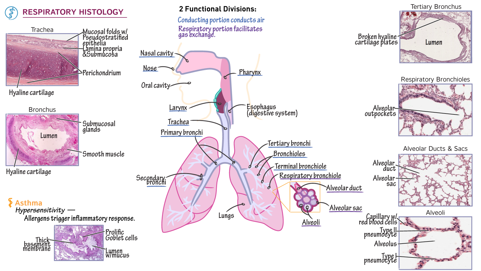 The respiratory system tutorials draw it to know it ccuart Gallery