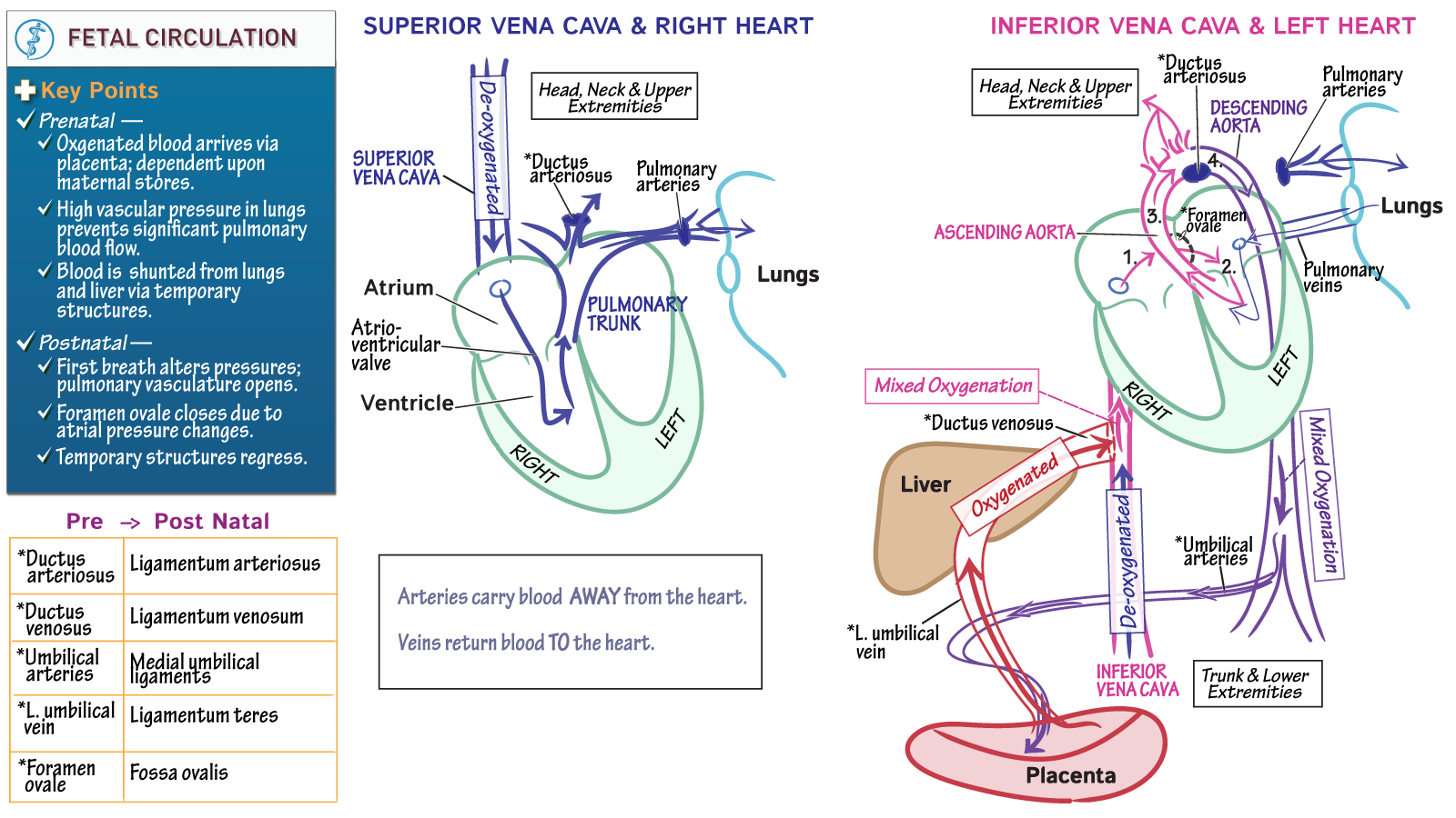 The Cardiovascular System: Fetal Circulation | Draw It to Know It