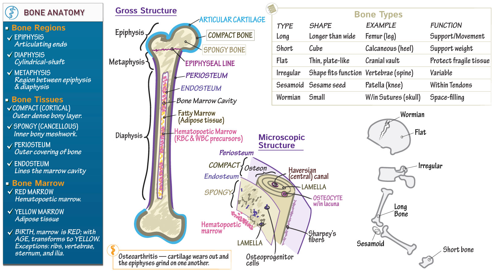 Anatomy & Physiology: Bone Structure & Types | Draw It to Know It