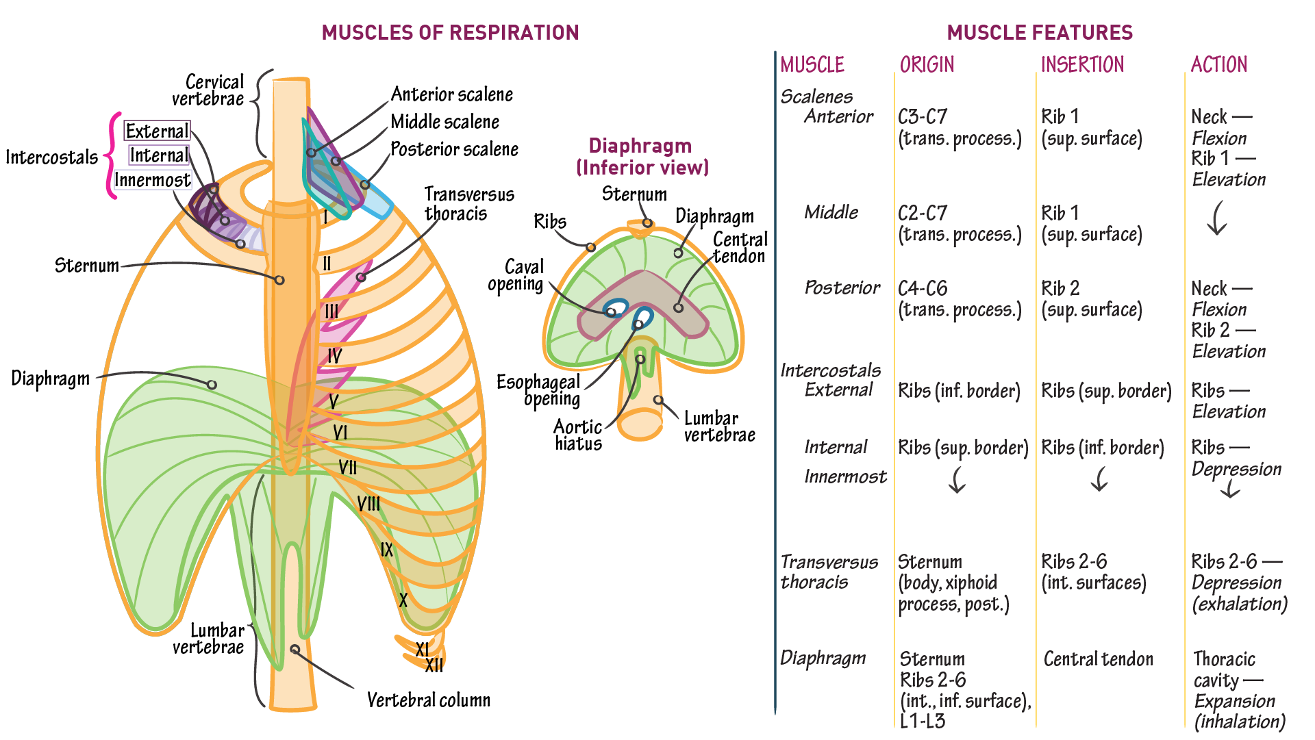 Gross Anatomy: Muscles of Respiration | Draw It to Know It