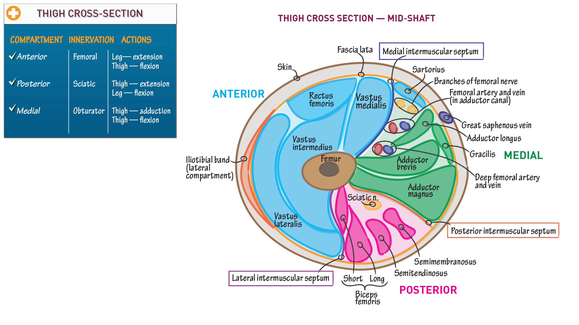 Gross Anatomy: Cross Section of the Thigh | Draw It to Know It