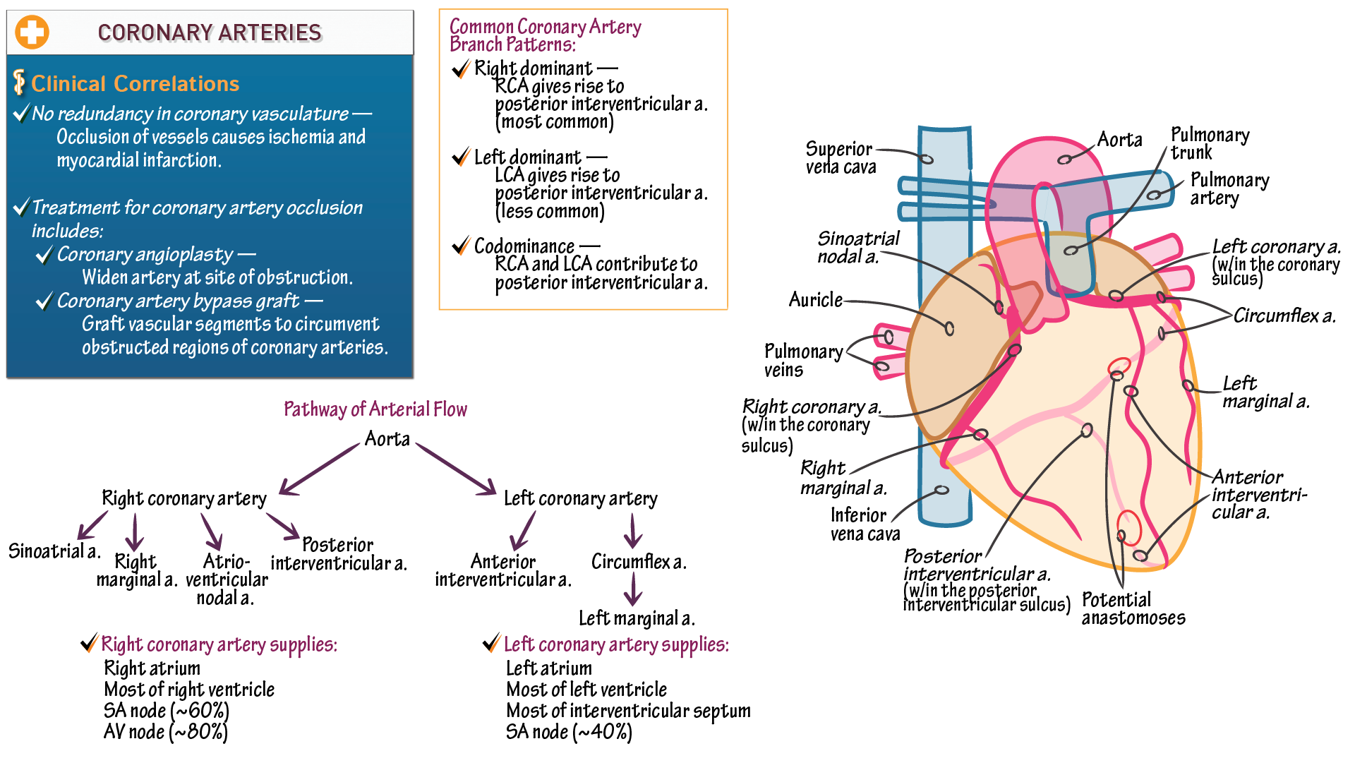 The cardiovascular system coronary arteries draw it to know it pooptronica Images